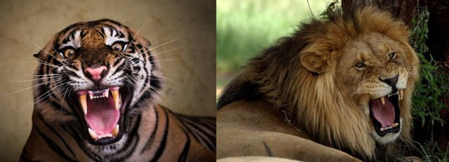 Tiger & Lion Roaring - 640 x 231